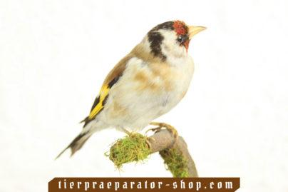 Tierpraeparator-Shop.com-Tierpraeparate-kaufen-519