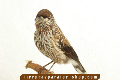 Tierpraeparator-Shop.com-Tierpraeparate-kaufen-522