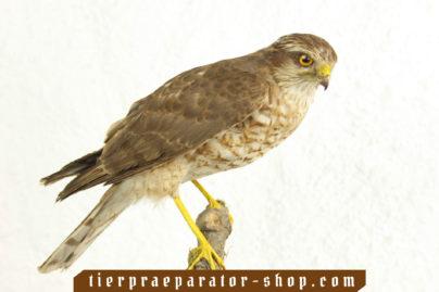 Tierpraeparator-Shop.com-Tierpraeparate-kaufen-527