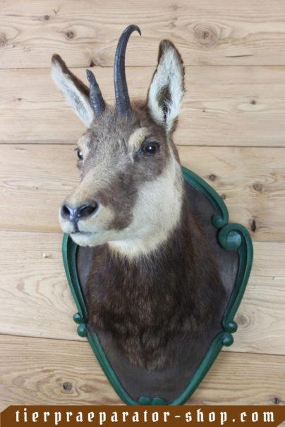Tierpraeparator-Shop.com-Tierpraeparate-kaufen-175