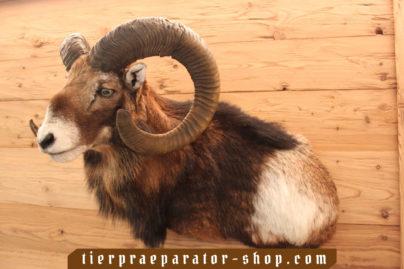 Tierpraeparator-Shop.com-Tierpraeparate-kaufen-377