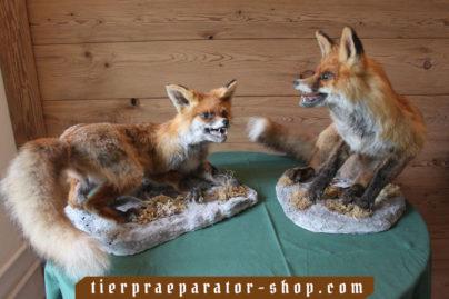 Tierpraeparator-Shop.com-Tierpraeparate-kaufen-481