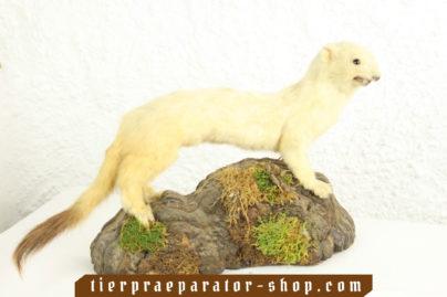 Tierpraeparator-Shop.com-Tierpraeparate-kaufen-531