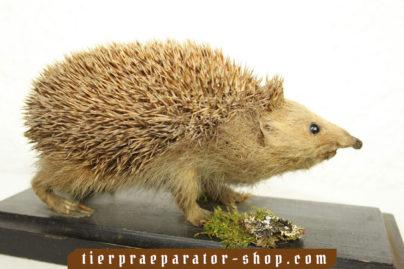 Tierpraeparator-Shop.com-Tierpraeparate-kaufen-657