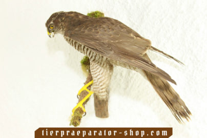 Tierpraeparator-Shop.com-Tierpraeparate-kaufen-689