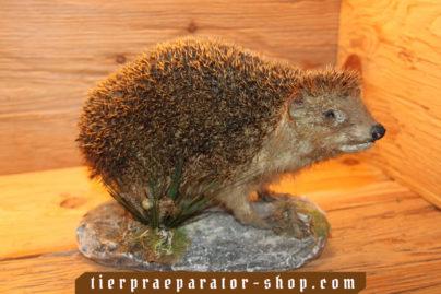 Tierpraeparator-Shop.com-Tierpraeparate-kaufen-1140