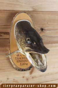 Tierpraeparator-Shop.com-Tierpraeparate-kaufen-1857
