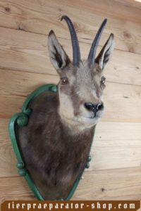 Tierpraeparator-Shop.com-Tierpraeparate-kaufen-2294
