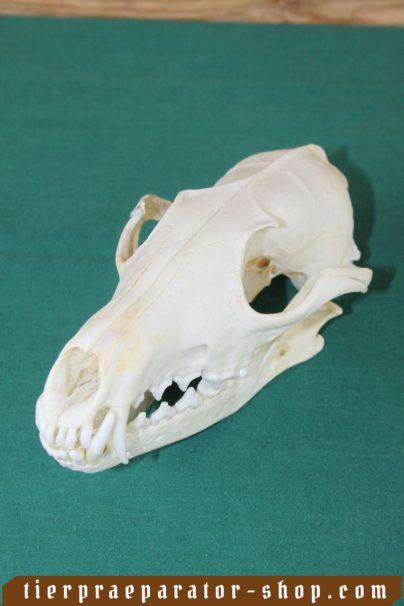 Tierpraeparator-Shop.com-Tierpraeparate-kaufen-2314