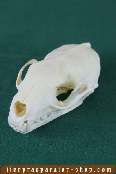 Tierpraeparator-Shop.com-Tierpraeparate-kaufen-2340