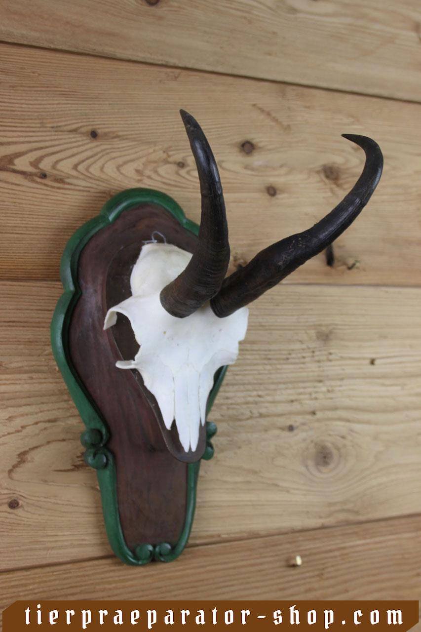 Tierpraeparator-Shop.com-Tierpraeparate-kaufen-2361