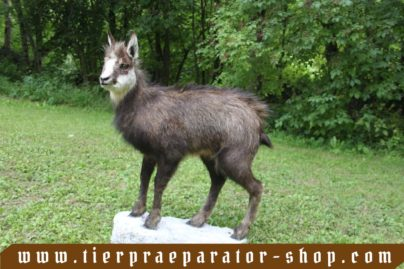 Tierpraeparator-Shop.com-Tierpraeparate-kaufen-1548