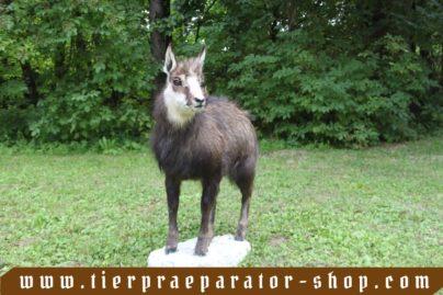 Tierpraeparator-Shop.com-Tierpraeparate-kaufen-1549