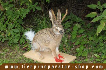 Tierpraeparator-Shop.com-Tierpraeparate-kaufen-1552