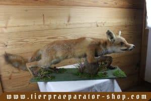 Tierpraeparator-Shop.com-Tierpraeparate-kaufen-1573