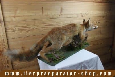 Tierpraeparator-Shop.com-Tierpraeparate-kaufen-1576