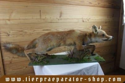 Tierpraeparator-Shop.com-Tierpraeparate-kaufen-1577