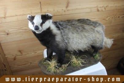 Tierpraeparator-Shop.com-Tierpraeparate-kaufen-1624