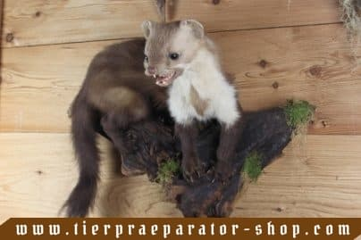 Tierpraeparator-Shop.com-Tierpraeparate-kaufen-1691