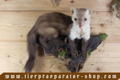 Tierpraeparator-Shop.com-Tierpraeparate-kaufen-1692