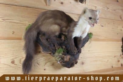 Tierpraeparator-Shop.com-Tierpraeparate-kaufen-1693