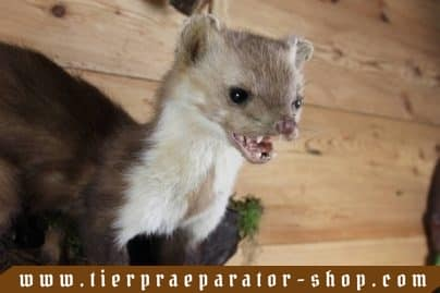 Tierpraeparator-Shop.com-Tierpraeparate-kaufen-1694