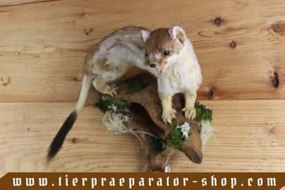 Tierpraeparator-Shop.com-Tierpraeparate-kaufen-1695