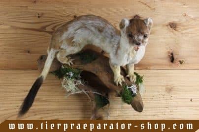 Tierpraeparator-Shop.com-Tierpraeparate-kaufen-1696