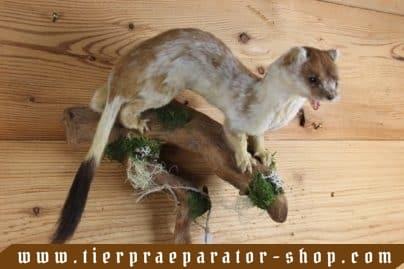 Tierpraeparator-Shop.com-Tierpraeparate-kaufen-1697