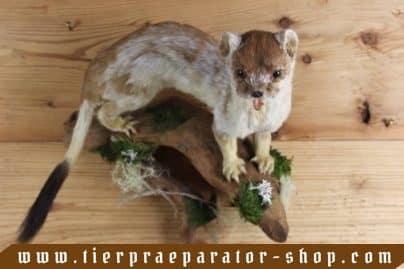 Tierpraeparator-Shop.com-Tierpraeparate-kaufen-1698