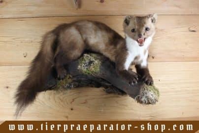 Tierpraeparator-Shop.com-Tierpraeparate-kaufen-1703