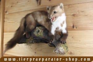 Tierpraeparator-Shop.com-Tierpraeparate-kaufen-1704