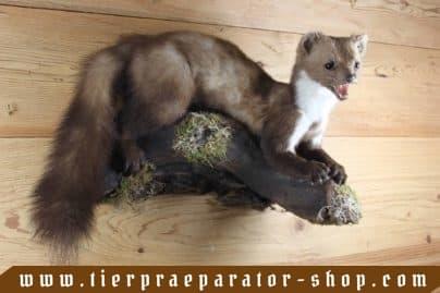 Tierpraeparator-Shop.com-Tierpraeparate-kaufen-1705