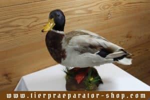 Tierpraeparator-Shop.com-Tierpraeparate-kaufen-1707