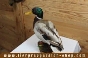 Tierpraeparator-Shop.com-Tierpraeparate-kaufen-1708