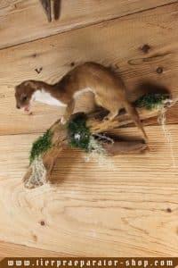 Tierpraeparator-Shop.com-Tierpraeparate-kaufen-1716
